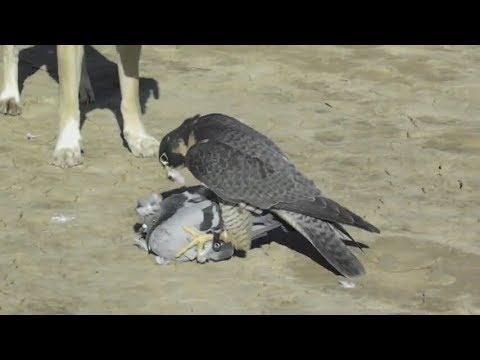 Güvercinime Atmaca Saldirdi Youtube