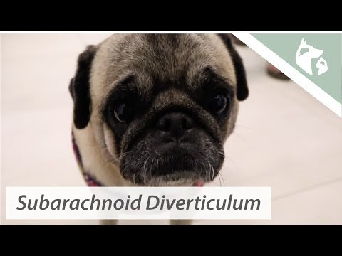 Pug With Hind Leg Weakness    Vlog 10