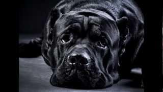 Кане Корсо. Лукас Мольто Форте. Mystical Dog