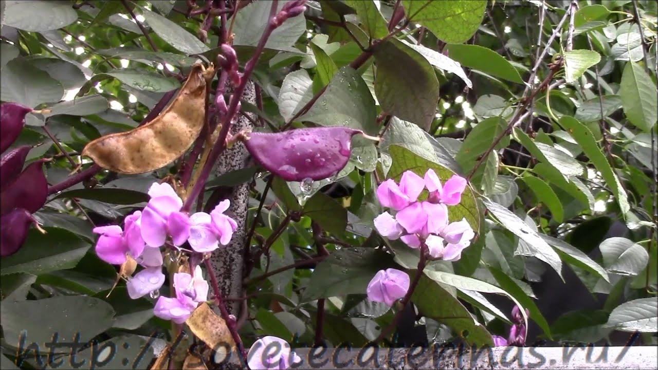 фасоль фото растение