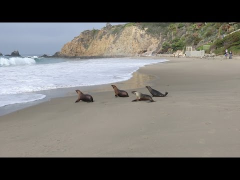 Danka HappyHour McCormick and Harker released by the Pacific Marine Mammal Center April 3