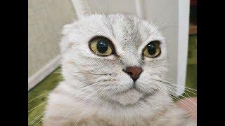 ДВА КОТА ИГРАЮТ В ПРЯТКИ 😻 ПРИКОЛЫ С КОТАМИ Шотландская Вислоухая Кошка и Прямоухий Котенок