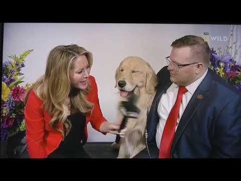 Westminster Golden Retriever breed winner 'Merlin' TV interview