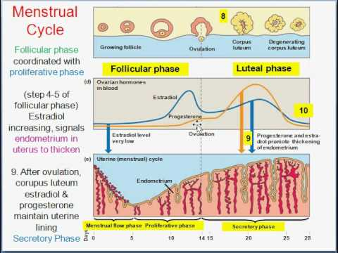 a description of the endometrium in the ovarian cycle Describe the role of hormones in the ovarian and menstrual cycles describe how   the menstrual cycle refers to cyclic changes that take place in the uterus.