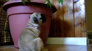 *Cute*  Milo the Pug Puppy being Naughty Naughty!