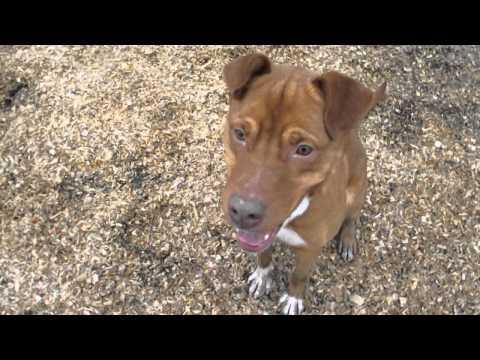 Castille - adoptable pit bull/australian shepherd mix