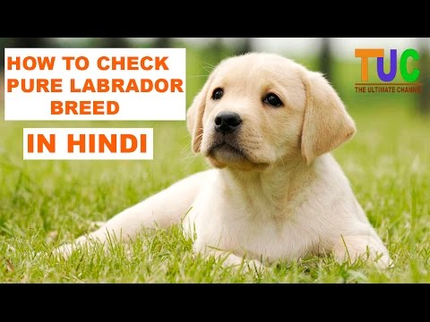 How to Check Pure Labrador Breed In Hindi | Know Your Breed In hindi | The Ultimate Channel