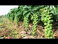 Awesome Tiny Cabbage Farm and Harvest - Brussel Sprout Cultivation Technology