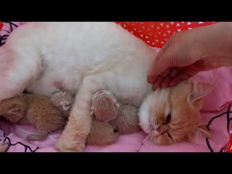 İran cinsi anne ve yavruları (evde kedi bakımı)