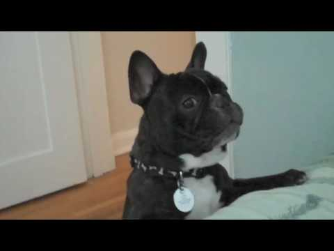 bulldog utube cute french bulldog barking youtube 985
