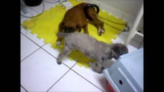 Reabilitação cão com Neuropatia Periférica - ReabiVet
