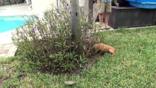 Romping Around The Yard Those Golden Irish Puppies