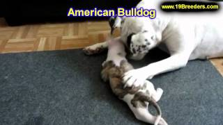 American Bulldog, Puppies, For, Sale, In, Indianapolis, Indiana, In, Valparaiso, Goshen, Westfield,