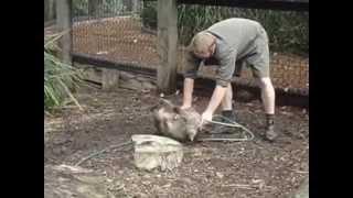 飼育員と遊びたいウォンバット thumbnail