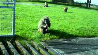 Baboon kills baby baboon whilst we watch in horror thumbnail