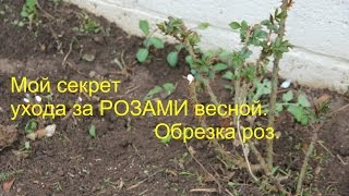 Мой секрет ухода за РОЗАМИ весной. Обрезка роз.(Уход за розами после зимы. И пару слов о тюльпанах., 2015-05-05T22:10:53.000Z)