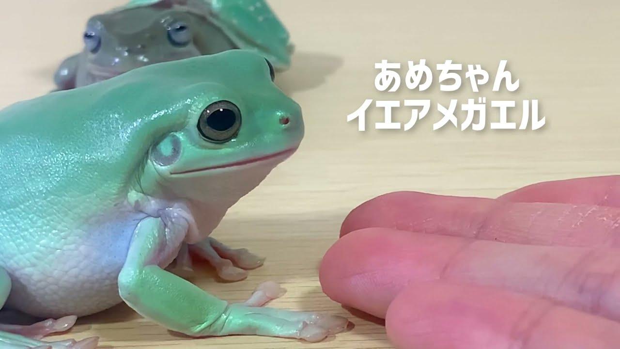 人に慣れすぎたカエルに手を差し出すとこうなります