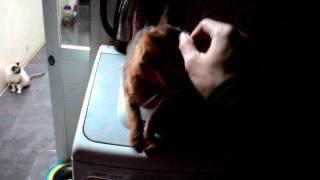 Mèo Somali - Cขte Soṁali cat