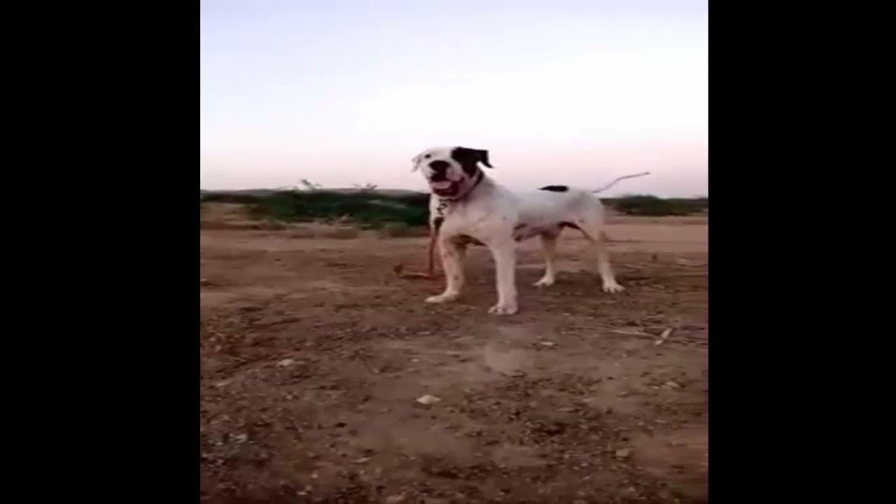 Tyson Bully Dog