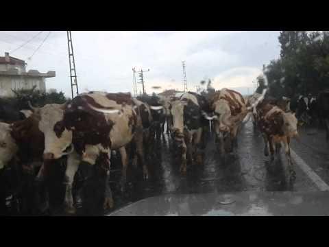 Yağmurda ineklerin Köye Glişi