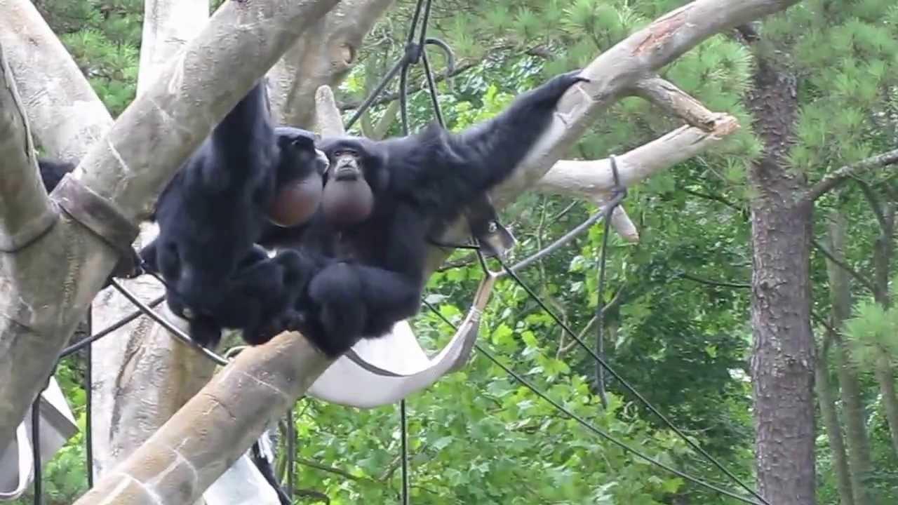 Siamang Monkey Sounds At Riverbanks Zoo Youtube