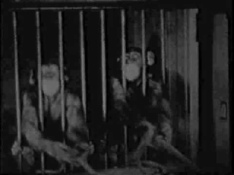 Chimpanzee cooperation experiment. Funny ending.