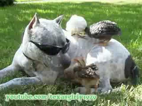 SunGlasses ROCK! PitBull SHARKY and Chicks Jumping.