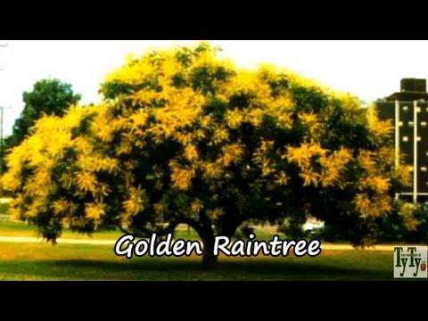 Plant Golden Rain Trees Yellow Free Flowering Tree2017 YouTube