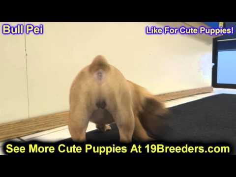 Bull Pei, Puppies, For, Sale, In, Billings, Montana, MT, Missoula, Great  Falls, Bozeman