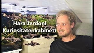 Hara Jerdoni - Deltaflügelzwergwels im Kuriositätenkabinett