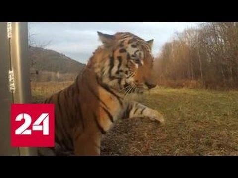 Тигра, съевшего корову в Приморье, отпустили на свободу