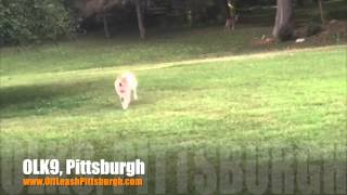 Got Real Recall? | Australian Shepherd/collie Mix | Dog Training Pittsburgh
