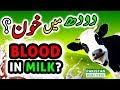 Causes, Diagnosis and Treatment of Blood in Milk Hemolactia in Cows and Buffaloes in Urdu Full HD