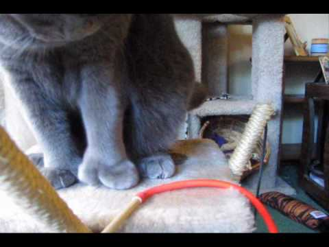 Zoey's toes in action - Polydactyl cat playing