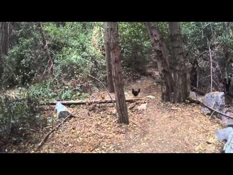 Wild Chickens San Bernardino National Forest: Weird!