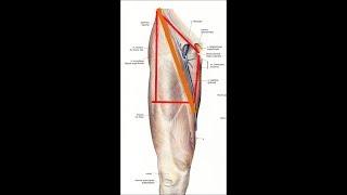 Anatomie de la région inguinale
