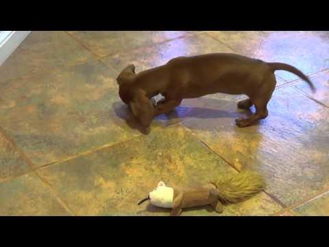 dachshund puppy playing hockey: watch this dachshund puppy having so much fun
