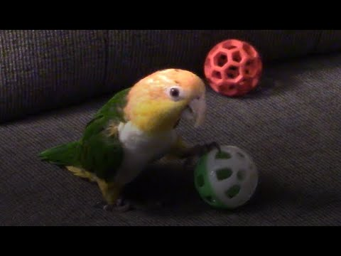 Pico Playing with a Ball #4- Picasso the Caique