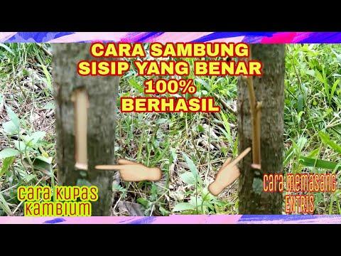 Cara Sambung Sisip Pada Batang Pokok Tanaman Durian