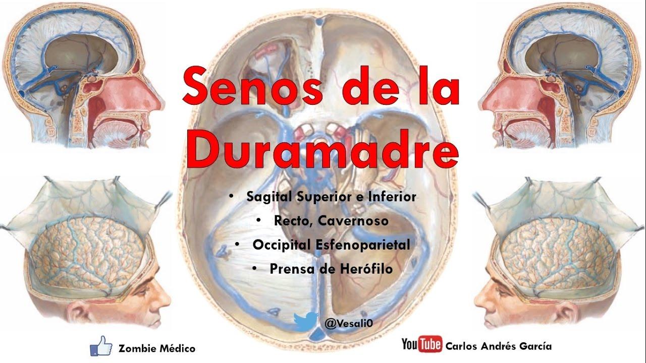 Anatomía - Senos de la Duramadre o Durales (Sagital Superior e ...