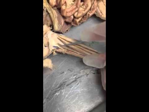 Cat Dissection Arm Muscles Youtube