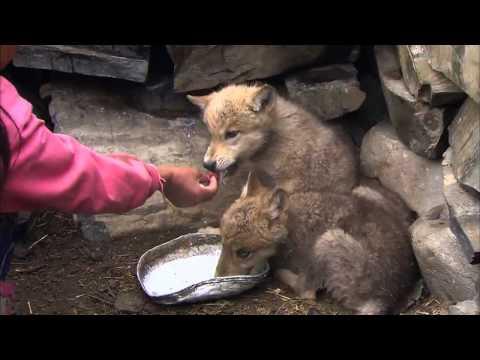 EBS 다큐프라임 - 중앙아시아, 살아남은 야생의 기록 2부 늑대와 유목민, 그들의 겨울_#003