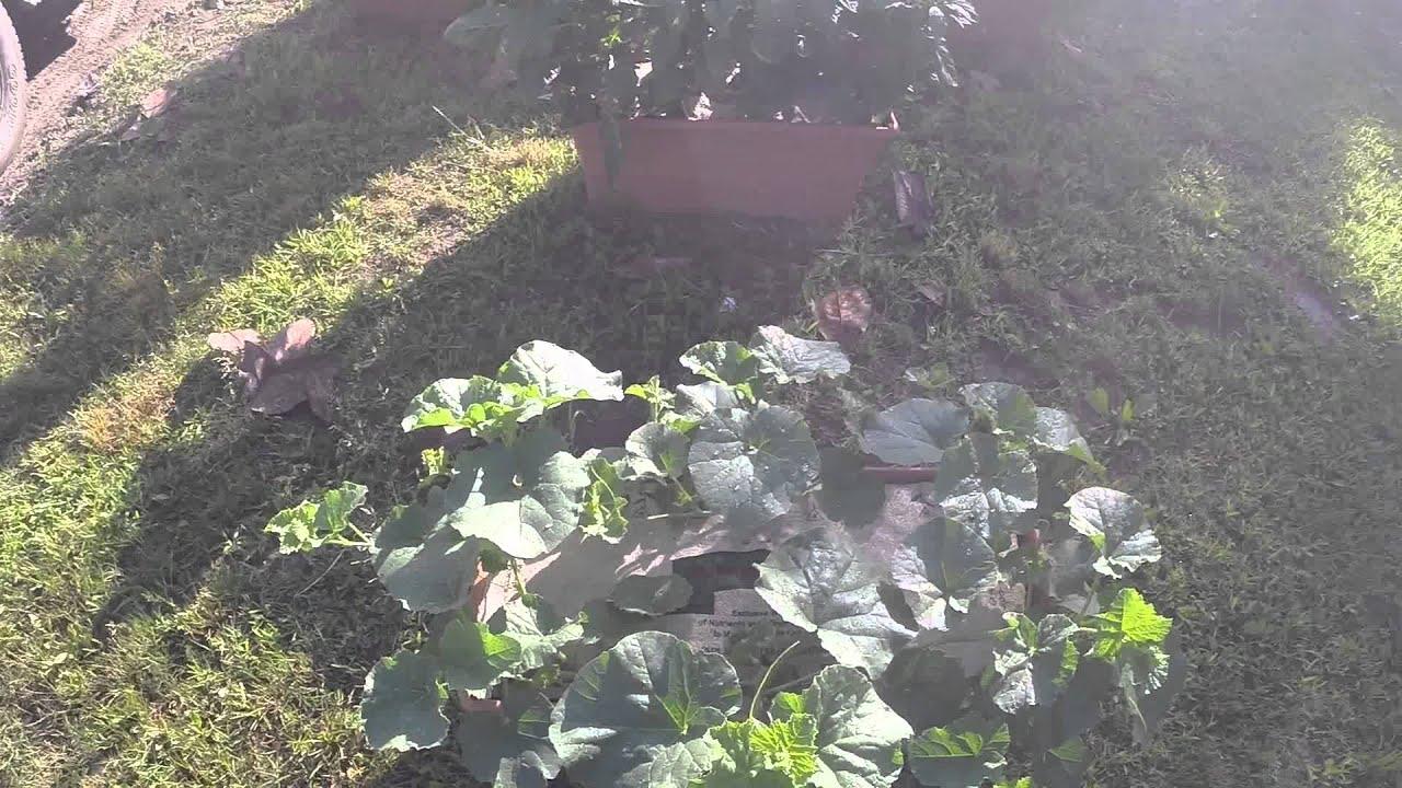 Garden Patch Grow Box With Cantaloupes!