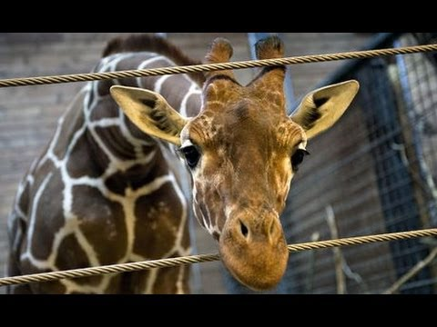 Marius the giraffe killed at Copenhagen zoo publicly fed to the Lions warning GRAPHIC content