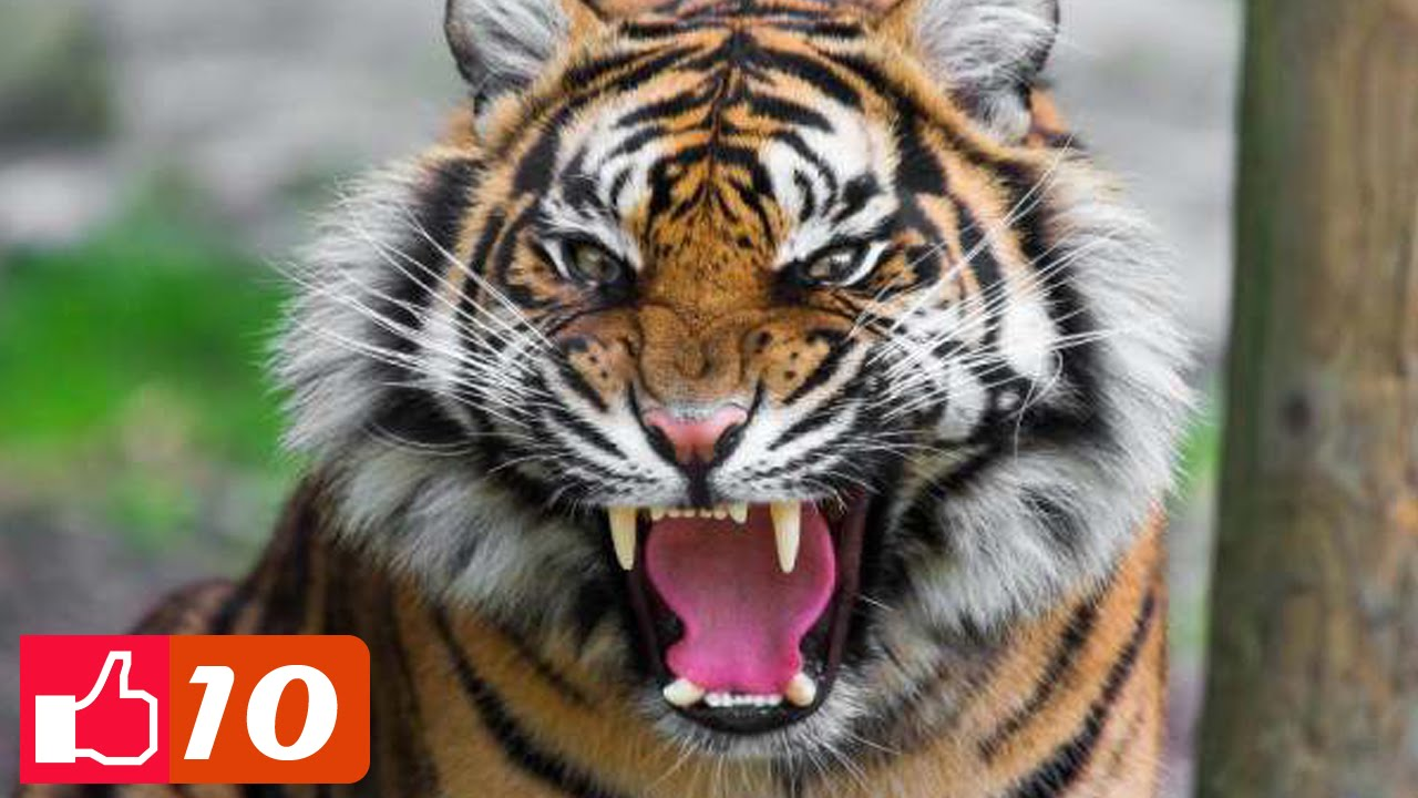 Top 10: Fascinating Facts About Tigers ► All About Animals - YouTube