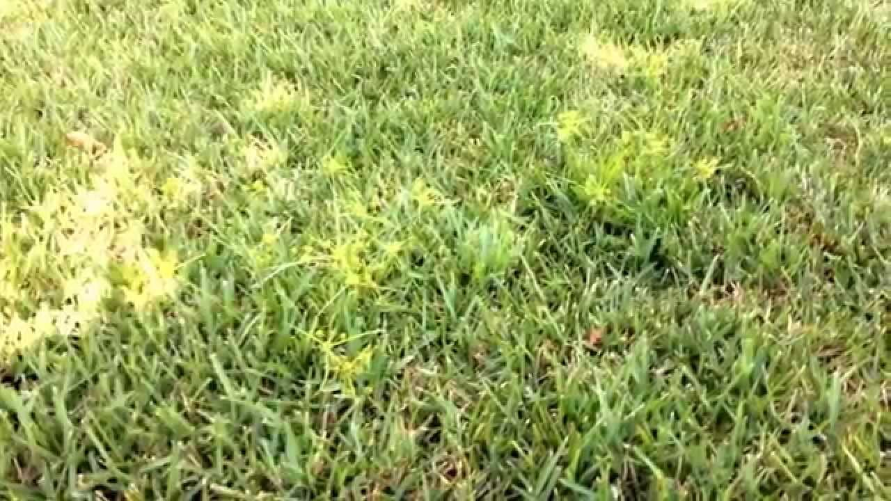 How to get rid of nut grass - Nutsedge Nut Grass Identification