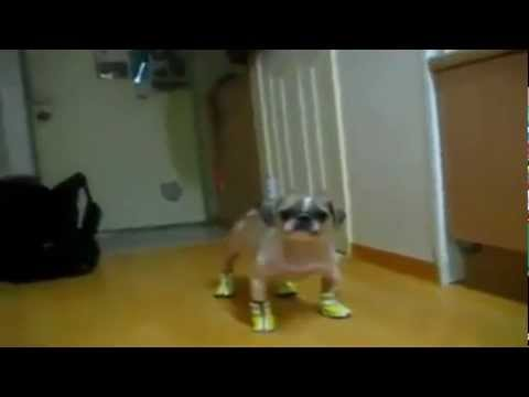 Cute Funny Talking Dog Wearing Boots / Shoes / Trainers