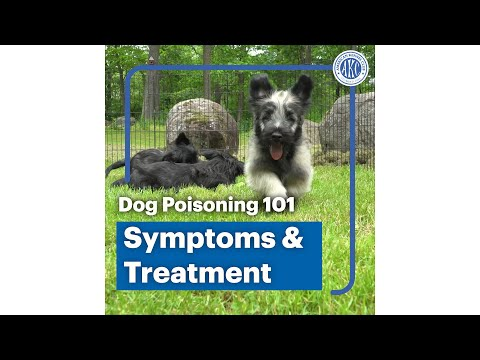 Dog poisoning 101 - Symptoms and Treatment