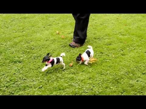Jesse Hershberger's Toy Fox Terrier Pups