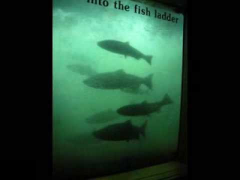 Columbia river gorge fish ladders and dams youtube for Bonneville fish counts